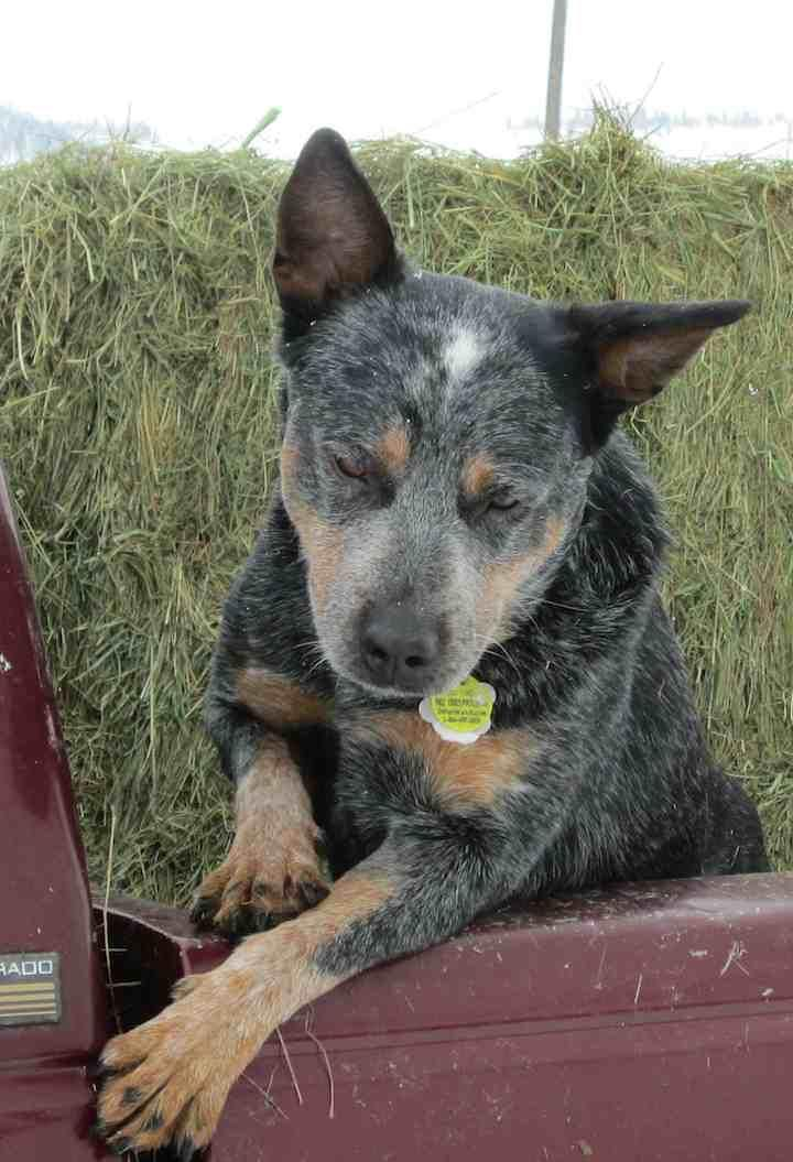 Hi! I'm Oso. As you can see, I would love to be your ranch hand. I'm am a stereotypical cattle dog who needs a job....and I'm a good worker. I bond to people very quickly and will stick by your side....no leash needed. I love to work all day and...