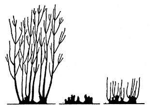 Coppicing | This technique is used to produce ornamental stems, juvenile foliage (for flower arrangements) and multi-stemmed rather than single stemmed specimens. Traditionally certain trees were coppiced to produce fencing materials, hurdles, spars and firewood on a 7-year cycle.