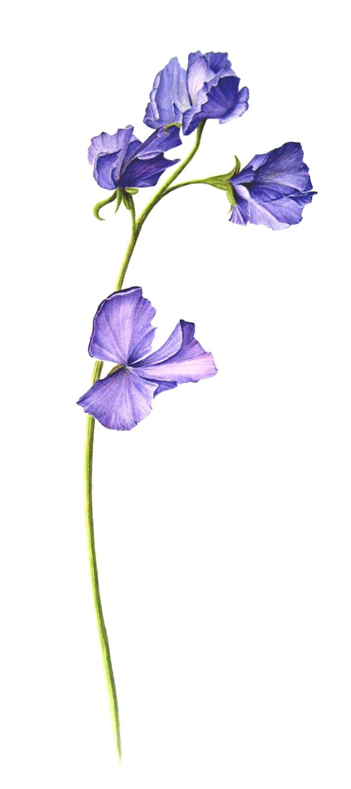 watercolor sweet peas - Google Search