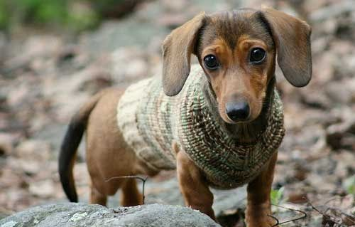 I can't wait to put my dachshunds into sweaters for fall!