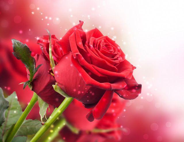 أجمل 40 خلفية عالية الدقة للورد الاحمر مداد الجليد Rose Flower Wallpaper Rose Wallpaper Rose Flower