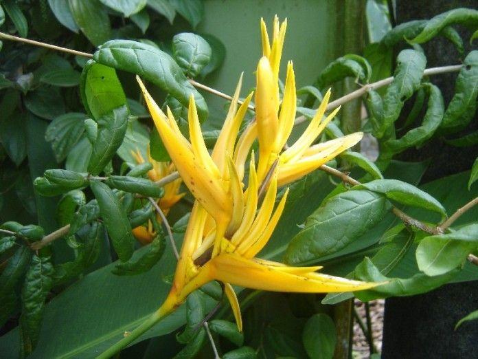 Jardin tropical tahiti heliconia balisier oiseau du paradis jardin fleurs flore - Plante oiseau de paradis ...