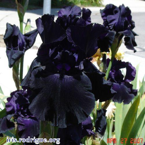 387 best Irises images on Pinterest | Iris flowers ...