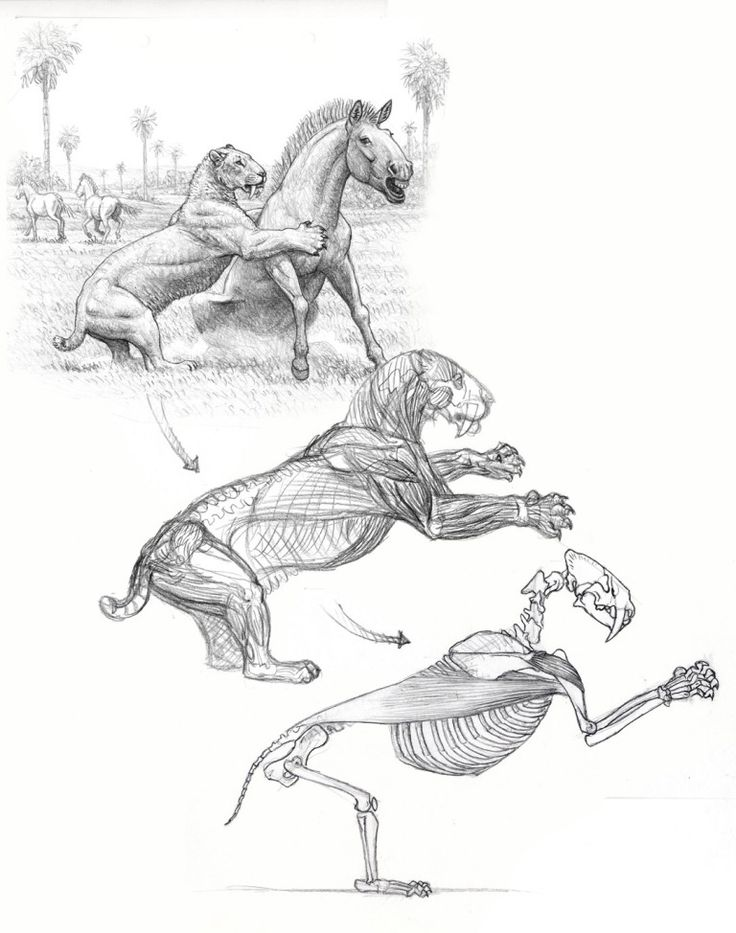 Smilodon hunting sequence sketch 2 (150)