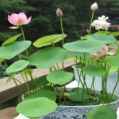 Lotus flower Seeds  water plant seeds for home garden balcony office table flower seeds  Free shipping