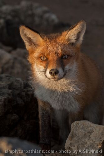 Fox - you can easily meet him on the Tatra Mountains hiking trails.  www.simplycarpathians.com