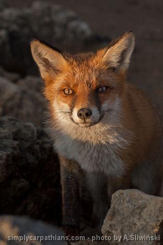 Fox - you can easily meet him on the Tatra Mountains hiking trails.  www.simplycarpathians.com