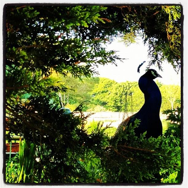 oberon our peacock