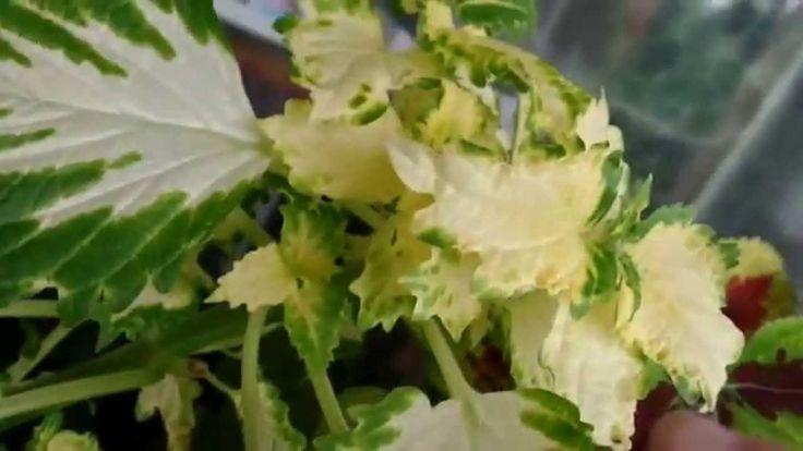 Колеус из семян. От чего зависит яркая окраска листьев?