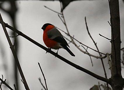 Dompfaff-Männchen - das rote Brustgefieder leuchtet schön vor dem grauen November-Himmel