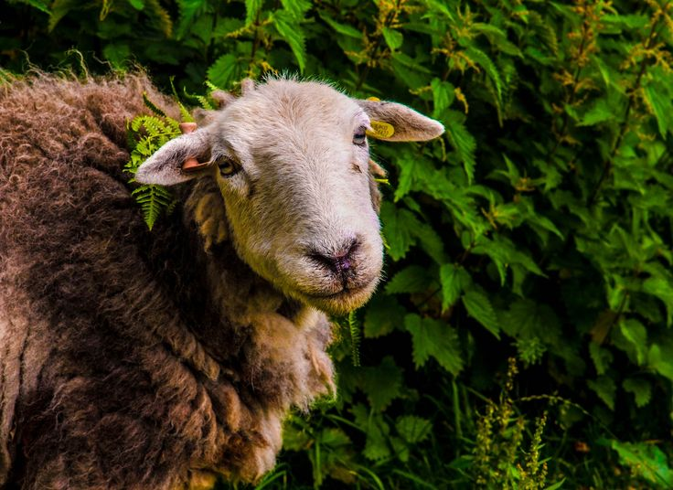 https://flic.kr/p/JQTh1M | Did you say mint sauce | Taken at tilberthwaite Ny coniston with a Nikon series e 135mm lens on a Fuji S5 pro camera