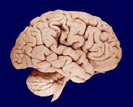 best brains images the brain neuroscience and brain human brain