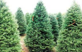 El Universal DF - 7 lugares para comprar árboles naturales de navidad en el DF