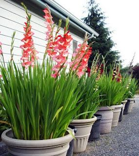 mass plant gladiolus in containers, easy to dig in the fall