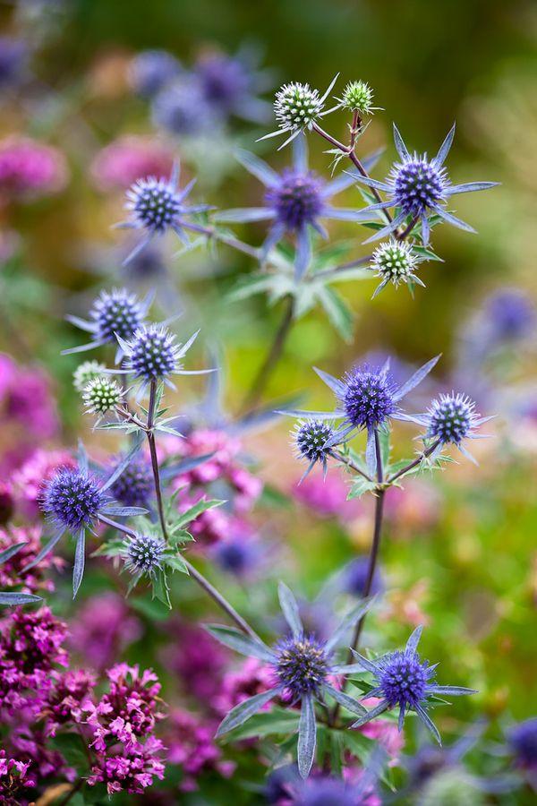 Eryngium Big Blue, trädgårdsmartorn. Blommar juli-augusti. Vill växa i sol och sandig jord med lagom till lite bevattning. Blir 60 cm. Fin som snitt och torkad.