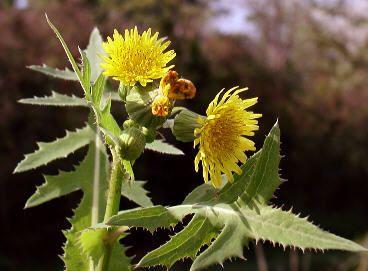 """Mauvaises herbes - Herbier du printemps !Partager    Citer    Salut   étant envahi de """"mauvaises herbes"""", je me suis amusé à faire une petite recherche des """"mauvaises herbes"""" annuelles...  J'en ai profité pour faire un petit herbier.   Je dis bien """"mauvaises"""" entre guillemets car certaines sont utilisées à des fins médicinales.   ---   RECAPITULATIF    Liseron des champs (sur maïs)      ---   Laiteron des champs Mauvaises herbes - Herbier du printemps ! (26 messages) - ForumConstruire.com"""