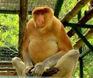 En la frondosa selva de Borneo retumba un bocinazo como si fuera un viejo claxon. Es el násico, que utiliza su nariz, en forma de pepino, como amplificador de sus serenatas románticas. Los násicos viven en los pantanos y rías, y se alimentan sobre todo de brotes y hojas jóvenes.
