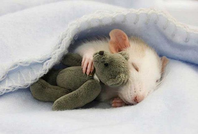 Rat sleeping with teddy bear. Awww.