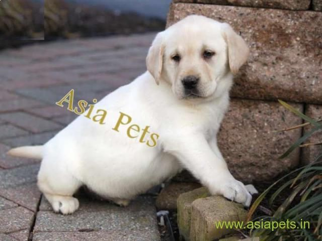 Labrador Puppies Price In Madurai Labrador Puppies For Sale In
