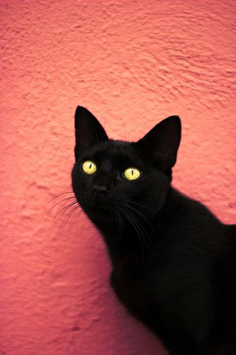 "Bless the black cats of the world.  Stupid superstitions are still rampant in some countries where black cats are abused and killed because of their colour. I ♥ my Black Cat - Draco ""The Dragon "" Meowfoy."