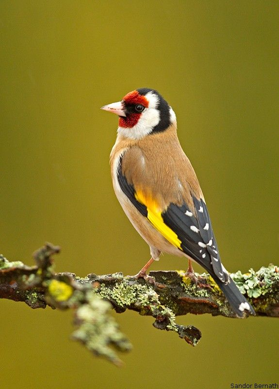 European Goldfinch (Carduelis carduelis) by Sandor Bernath
