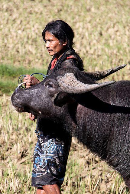 Water buffalo-Tana Toraja, Sulawesi