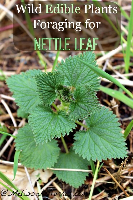Wild Edibles Foraging for Nettle Leaf Learn how to forage for wild edibles, starting with the versatile nettle leaf, perfect for food and medicine and being prepared.