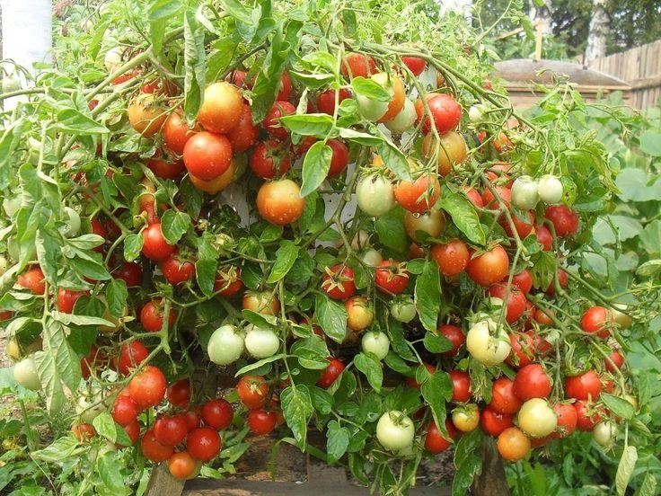 Любой из дачников хочет, чтобы в этом году урожай был непременно лучше, чем во все предыдущие. А можно ли этому поспособствовать? Конечно! Особенно если знать несколько помидорных секретов. Самыми ва…