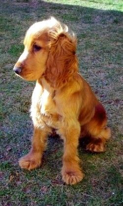 English Cocker Spaniel - looks just like Baxie when he was a puppy... And he'll always be part of my dream life because he WILL live forever!!