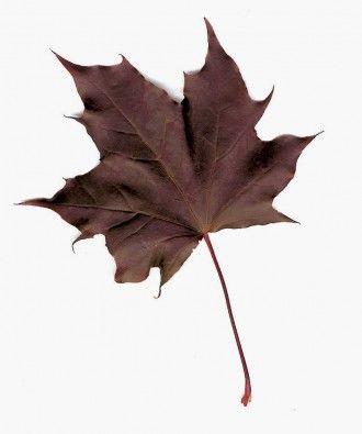 Acer platanoides 'Crimson King'. Ses feuilles brillantes sont d'un rouge foncé.
