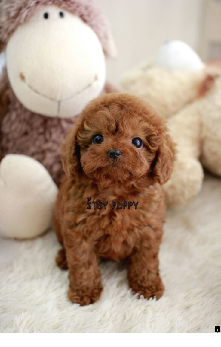 Rare Fox Red Red Goldamerican Toy Cockapoo Puppies Cockapoo