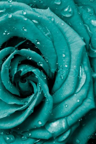 dewy turquoise rose