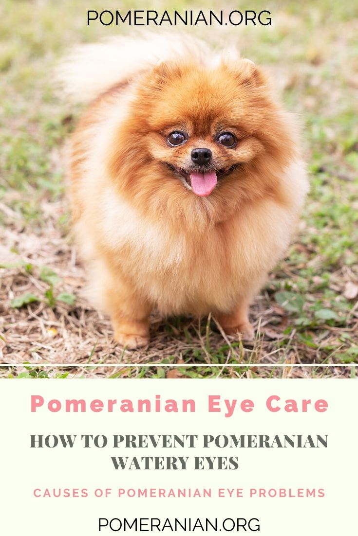 Pomeranian Watery Eyes Watery Eyes Pomeranian Dog Dog Eyes