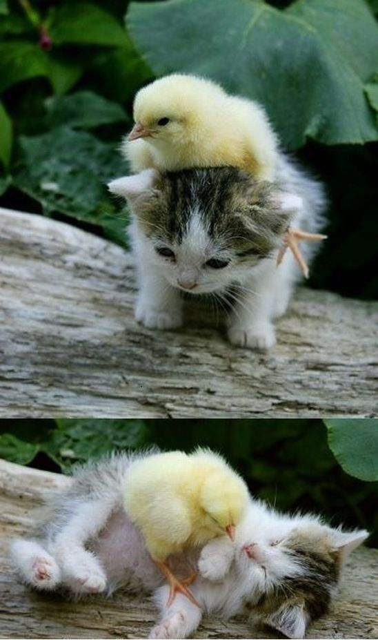 Kitten and chick