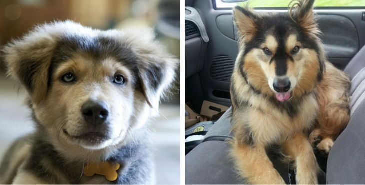 Known as Goberians, this might be on the cutest breeds we've ever seen.