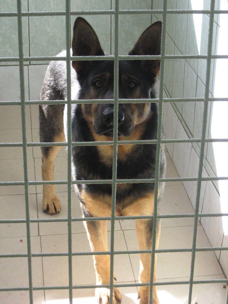 #owczarek #psy #adopcje #schronisko #dogs #shelter #adopt #shepperd