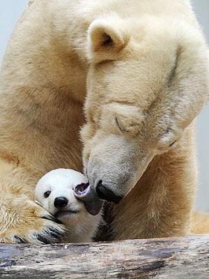 .: Kiss, Mothers, Bears Cubs, Gibbon, Baby Polar Bears, The Zoos, Baby Bears, Bath Time, Animal