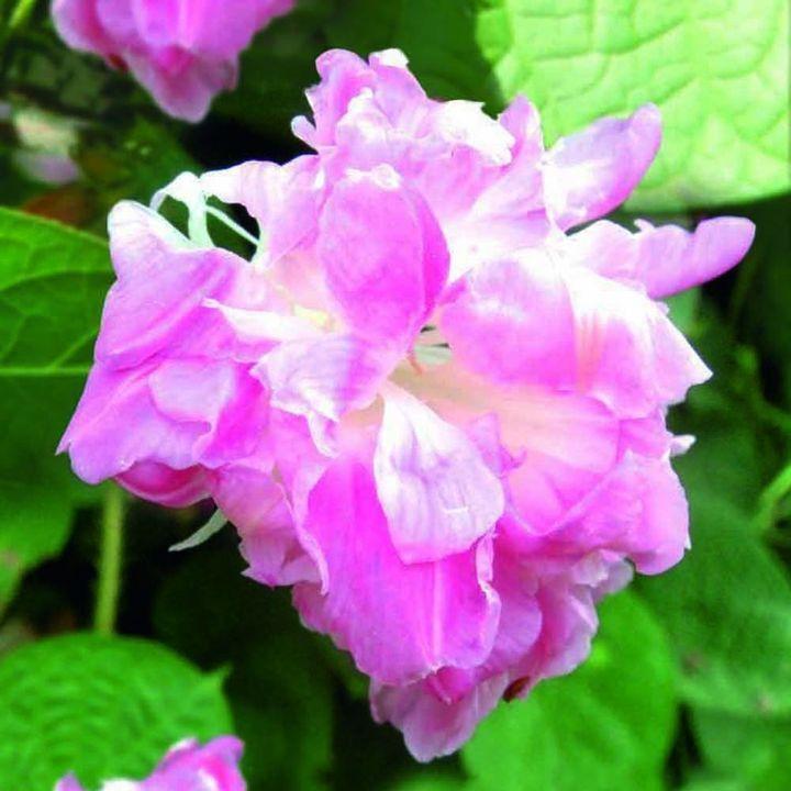 """Mycket ovanlig blomfärgSubtila bleka lila-rosa blommor, skuggning till en mörkare rosa med en vit centrum, varje blomma ståtar med en """"krage"""" av fina vita kronblad. De snabbväxande växter kommer att kväva ett staket eller spaljé på nolltid! Lätt att växa klättrare nå 2,4-3m (8-10). Vackra på en solig vägg eller i ett svalt växthus. Trivs på magra jordar! HHA - Half-hardy årliga.      Attraktiva blommor med en fransig krage     Härlig klättring upp en tr…"""