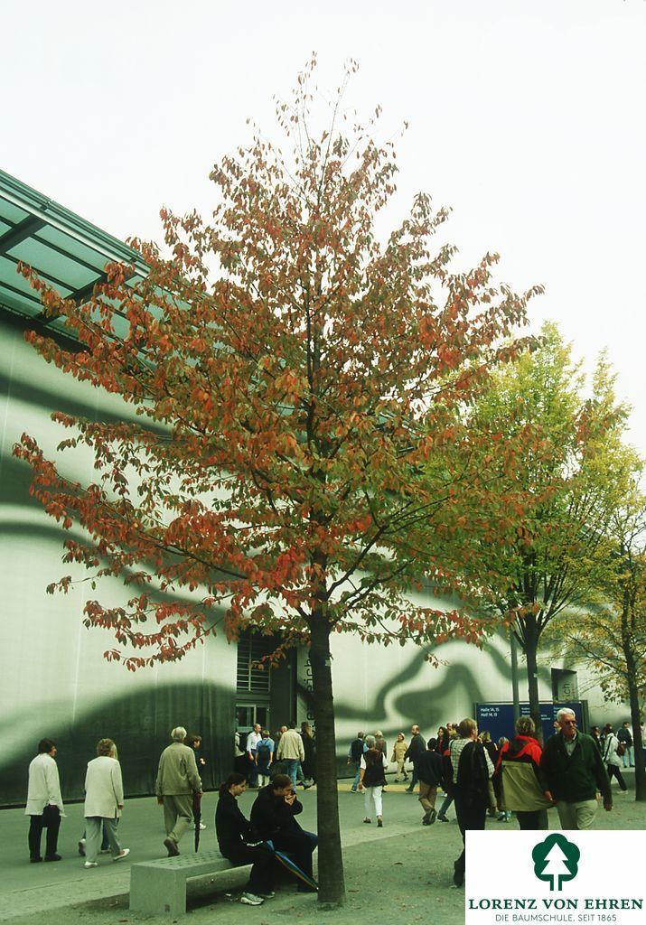 Prunus avium | Lorenz von Ehren