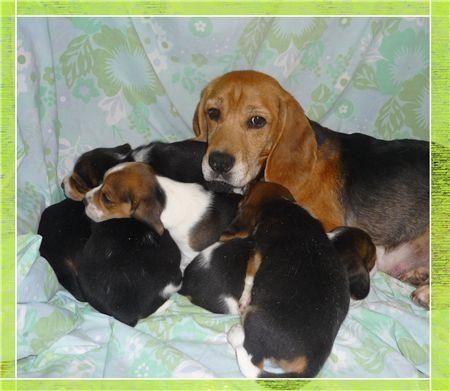 Adopter un chiot Beagle - Elevage de la vallée des trappeurs