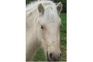 Shetland Pony Mare for Sale in Manitoba - Honey