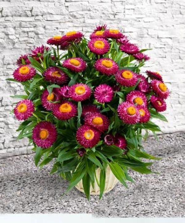 Helichrysum Bracteatum Strawflower Bright Rose Wildflower Seeds