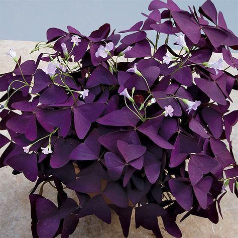 Purple Shamrock Plant (Oxalis regnellii 'Francis')
