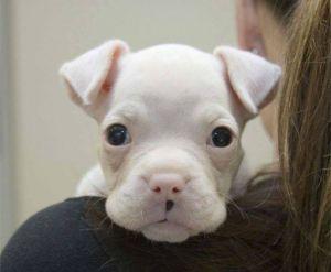White Boxer Baby!
