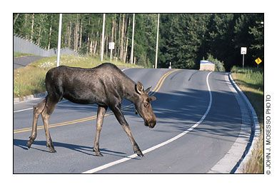 Where to see moose in NH
