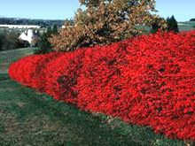 Burning bush: We have these and they really do get that beautiful in the autumn.
