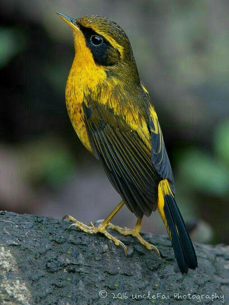 Фото желто черных птиц в краснодарском крае