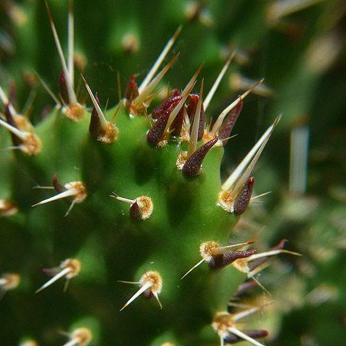 tuna planta de nopal cactus planta 29 de mayo 2009