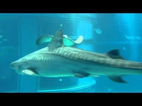 Video dall'acquario di Osaka Se vi trovate ad Osaka non potete farvi sfuggire una visita nel magnifico acquario.  http://youtu.be/JekOKwkhU7Y  Vi piacciono gli acquari giapponesi?  #acquario #osaka #giappone #video