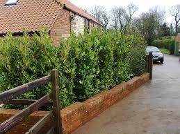 Image result for prunus hedge